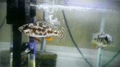 livingstonii african cichlid for sale
