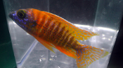 Aulonocara Red Ruby african cichlids for sale