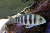 Frontosa Kigoma african cichlid for sale