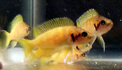 Neolamprologus helianthus african cichlid for sale