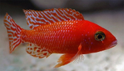 Dragonblood Peacock african cichlids for sale