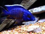 Aulonocara Blue Regal Peacock