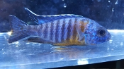Aulonocara Red shoulder african cichlids for sale