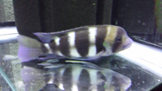 Cyphotiliapia frontosa cichlid large adult