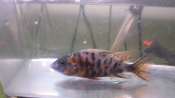 Aulonocara OB Peacock african cichlids for sale