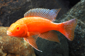 Aulonocara Strawberry Peacock african cichlids for sale