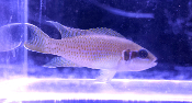 Brichardi african cichlid for sale