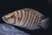 Goldhead compressiceps cichlid